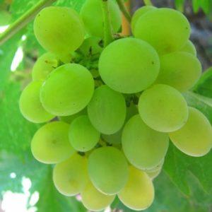 Маринованный виноград по‑армянски