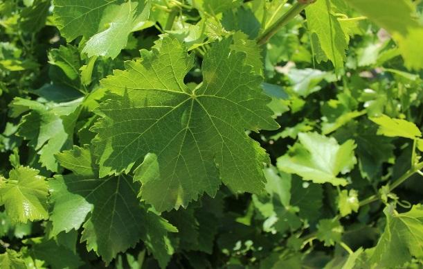Рис с виноградными листьями: необычный армянский плов